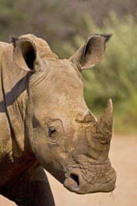 White Rhino headshot